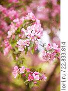 Розовые цыеты яблони. Стоковое фото, фотограф Екатерина Кармановская / Фотобанк Лори