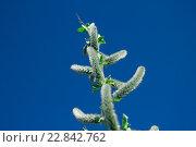 Ветви цветущей ивы. Стоковое фото, фотограф Ильнар Ханов / Фотобанк Лори