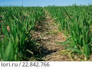 Поле с зелеными ростками ячменя. Стоковое фото, фотограф Ильнар Ханов / Фотобанк Лори