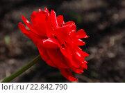 Купить «Красный махровый тюльпан на темном фоне», фото № 22842790, снято 7 мая 2016 г. (c) Бабкина Марина / Фотобанк Лори