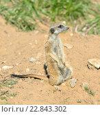 Купить «Сурикат, или суриката (лат. Suricata suricatta) — вид млекопитающих из семейства мангустовых (Herpestidae)», фото № 22843302, снято 1 мая 2016 г. (c) Валерия Попова / Фотобанк Лори