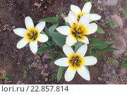 Купить «Белые тюльпаны расцвели на даче весной», эксклюзивное фото № 22857814, снято 8 мая 2016 г. (c) Тамара Заводскова / Фотобанк Лори