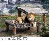Лев в зоопарке. Стоковое фото, фотограф Игорь Аникин / Фотобанк Лори