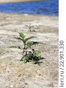 Молодое растение на берегу пруда. Стоковое фото, фотограф Андрей Силивончик / Фотобанк Лори