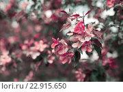 Цветущая розовая яблоня. Стоковое фото, фотограф Светлана Сарапкина / Фотобанк Лори
