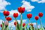 Ярко-красные тюльпаны на фоне голубого неба с белыми облаками в солнечный весенний день, фото № 22928474, снято 9 мая 2016 г. (c) Екатерина Овсянникова / Фотобанк Лори