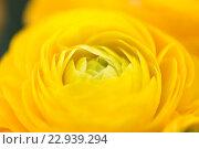 Купить «close up of beautiful yellow ranunculus flowers», фото № 22939294, снято 27 марта 2016 г. (c) Syda Productions / Фотобанк Лори