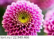 Купить «close up of beautiful pink chrysanthemum flowers», фото № 22949466, снято 27 марта 2016 г. (c) Syda Productions / Фотобанк Лори