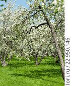 Цветущие яблоневые деревья в музее-заповеднике Коломенское. Москва (2016 год). Редакционное фото, фотограф E. O. / Фотобанк Лори