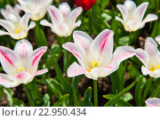 Распустившиеся бело-розовые тюльпаны. Стоковое фото, фотограф E. O. / Фотобанк Лори