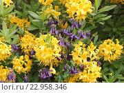 Купить «Соцветия рододендрона желтого и синей аквилегии», эксклюзивное фото № 22958346, снято 19 мая 2016 г. (c) Ната Антонова / Фотобанк Лори