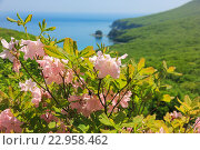 Цветение рододендрона Шлиппенбаха на фоне бухты Теляковского. Стоковое фото, фотограф Римма Тельнова / Фотобанк Лори