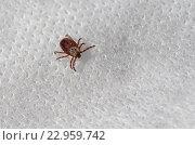 Клещ (лат. Acarina) Стоковое фото, фотограф Елена Коромыслова / Фотобанк Лори