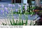 Купить «Синие ирисы цветут на морской набережной города-курорта Анапа», фото № 22978902, снято 30 апреля 2016 г. (c) Елена Александрова / Фотобанк Лори