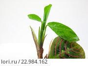 Комнатный цветок маранта. Стоковое фото, фотограф Ольга Еремина / Фотобанк Лори