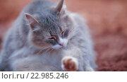 Купить «Серая пушистая кошка вылизывает себя», видеоролик № 22985246, снято 12 мая 2016 г. (c) Илья Насакин / Фотобанк Лори