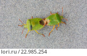 Купить «Зелёные вонючие жуки (Palomena) спариваются на сером фоне», видеоролик № 22985254, снято 24 мая 2016 г. (c) Андрей С / Фотобанк Лори