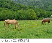 Купить «Лошади пасутся на зеленом лугу около леса», фото № 22985842, снято 6 мая 2016 г. (c) DiS / Фотобанк Лори