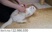Купить «Женщина расчёсывает недовольную белую кошку шотландской породы», видеоролик № 22986030, снято 19 мая 2016 г. (c) Володина Ольга / Фотобанк Лори