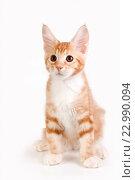 Маленький рыжий котенок сидит на белом фоне. Стоковое фото, фотограф Ольга Козина / Фотобанк Лори