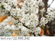 Цветущая яблоня. Стоковое фото, фотограф Наталья Данченко / Фотобанк Лори
