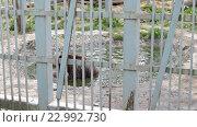 Медведь играет с корягой в воде. Березинский зоопарк. Стоковое видео, видеограф Владимир Макеев / Фотобанк Лори