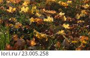 Купить «Осенний листья на ветру», видеоролик № 23005258, снято 8 октября 2011 г. (c) Пётр Мусатов / Фотобанк Лори