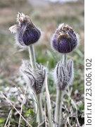 Два цветка сон-травы или прострела в естественной среде. Стоковое фото, фотограф Наталья Чумакова / Фотобанк Лори