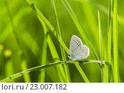 Купить «Голубая бабочка сидит среди травы. Макро снимок», эксклюзивное фото № 23007182, снято 25 мая 2016 г. (c) Игорь Низов / Фотобанк Лори