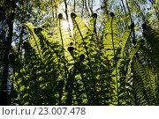 Заросли папоротника на фоне солнечного света. Стоковое фото, фотограф Екатерина Голубкова / Фотобанк Лори