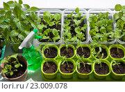 Купить «Выращивание рассады разных овощей на подоконнике», фото № 23009078, снято 29 января 2020 г. (c) Галина Лукьяненко / Фотобанк Лори