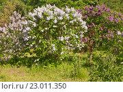 Купить «Кусты цветущей сирени в ботаническом саду», эксклюзивное фото № 23011350, снято 21 мая 2016 г. (c) Svet / Фотобанк Лори