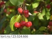 Райские яблочки. Стоковое фото, фотограф Сергей Варламов / Фотобанк Лори