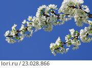 Цветущие ветви яблони на фоне неба. Стоковое фото, фотограф Natalia Sidorova / Фотобанк Лори