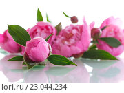 Купить «Розовые пионы», фото № 23044234, снято 31 мая 2016 г. (c) Peredniankina / Фотобанк Лори