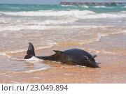 Купить «Мертвый дельфин афалина на песчаном пляже», фото № 23049894, снято 14 мая 2016 г. (c) Иванов Алексей / Фотобанк Лори