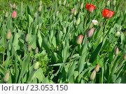 Купить «Красные тюльпаны на клумбе распустившиеся и в бутонах», фото № 23053150, снято 8 мая 2016 г. (c) Максим Мицун / Фотобанк Лори
