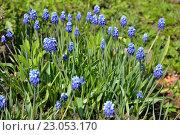 Купить «Клумба синих мускари в солнечный день», фото № 23053170, снято 8 мая 2016 г. (c) Максим Мицун / Фотобанк Лори