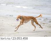 Купить «Салюки играет на пляже», фото № 23053458, снято 15 августа 2014 г. (c) Артём Сапегин / Фотобанк Лори