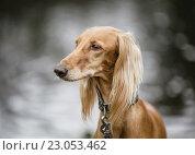 Купить «Портрет салюки», фото № 23053462, снято 19 марта 2016 г. (c) Артём Сапегин / Фотобанк Лори