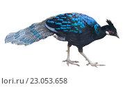 peafowl bird isolated. Стоковое фото, фотограф Яков Филимонов / Фотобанк Лори