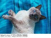 Купить «Кот с голубыми глазами», фото № 23059986, снято 22 мая 2016 г. (c) Наталья Окорокова / Фотобанк Лори