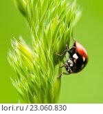 Купить «Красная божья коровка ползёт по траве на фоне зелени. Крупный план», эксклюзивное фото № 23060830, снято 2 июня 2016 г. (c) Игорь Низов / Фотобанк Лори