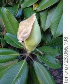 Купить «Распускающийся бутон магнолии виргинской в зеленой листве», фото № 23066198, снято 17 мая 2016 г. (c) DiS / Фотобанк Лори