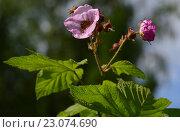 Купить «Малина душистая или малиноклен (лат. Rubacer odoratus) - родственница обычной садовой малины (Rubus idaeus)», эксклюзивное фото № 23074690, снято 8 июня 2016 г. (c) lana1501 / Фотобанк Лори