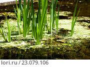 Купить «Зелёные листья в пруду», фото № 23079106, снято 22 мая 2016 г. (c) Татьяна Кахилл / Фотобанк Лори