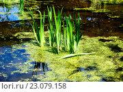 Купить «Зелёные листья в пруду», фото № 23079158, снято 22 мая 2016 г. (c) Татьяна Кахилл / Фотобанк Лори