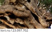 Купить «oldest olive tree Palma - Plaza de Cort», видеоролик № 23097702, снято 28 мая 2016 г. (c) BestPhotoStudio / Фотобанк Лори