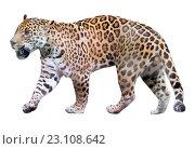 Купить «Adult jaguar», фото № 23108642, снято 19 июня 2018 г. (c) Яков Филимонов / Фотобанк Лори