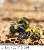 Шмель на медовых сотах. Стоковое фото, фотограф Игорь Потапов / Фотобанк Лори